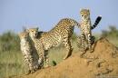 ghepardi in odore di caccia....