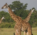 giraffe in coppia