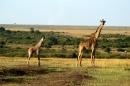giraffe maasai, nella sconfinata savana dello Tsavo