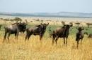 gruppo di Gnu al Masai Mara