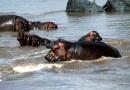 ippopotami nel Mara river