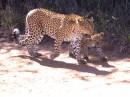 il passo felpato del Leopardo