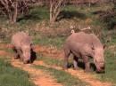 L'imponenza dei Rinoceronti