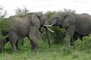 lotta tra elefanti