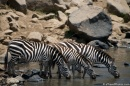 zebre che si abbevverano nel fiume Voi