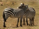 zebre in amore