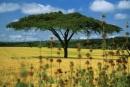 albero di acacia, unica possibilità d'ombra nel Masai Mara