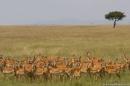 Masai Mara: ...e gli impala stanno a guardare
