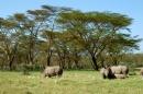 Nakuru National Park. rinoceronti al pascolo