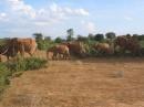 Tsavo east: gruppo di elefanti che attraversa la strada