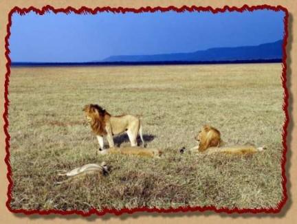 leoni nella savana by Ugo Troiani