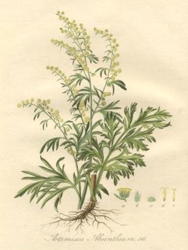 artemisia absinthium, pianta