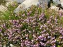 fiori di bach heater impatiens water violet