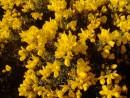 wild oat, scleranthus, cerato, hornbeam, gorse, gentian, fiori di bach