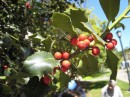 fiori di bach per l'ipersensibilità alle idee e alle influenze esterne agrimony centaury holly walnut