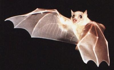 pipistrello sogni