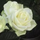 Un fiore per l'amore