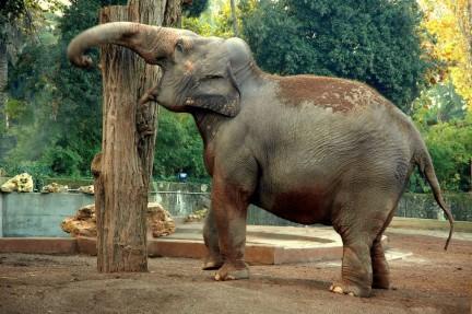 Elefante al Bioparco di Roma