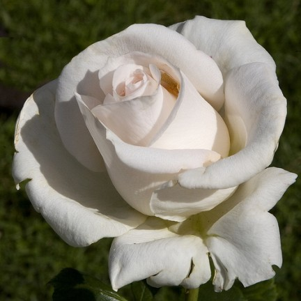 Un tiepido rosa nel candido bianco