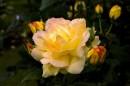 I colori del tramonto nel profumo delle rose