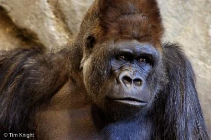 scimmia sogni gorilla foto Tim Knight