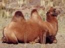 immagini di cammelli