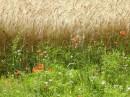 campi di grano e papaveri