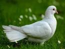 Immagini della colomba