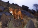 Foto di volpi