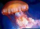 Immagini di meduse
