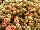 Immagini di rose