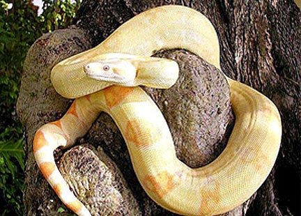 serpenti gialli