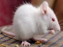 Il topo nei sogni