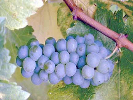 Foto di uva