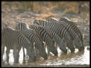 Foto di zebre