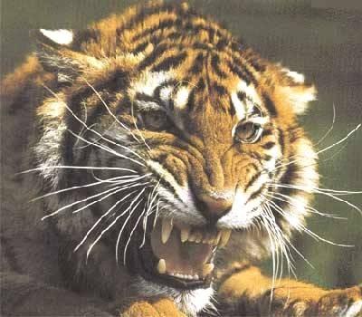 Una tigre nei sogni for Disegni delle tigri