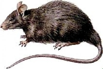 Topi nei sogni - Come uccidere i topi in casa ...