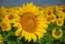 Girasole fiore di Toscana
