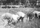 Riso di Massarosa: risaie e mondine di Toscana