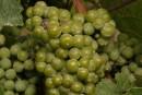 Vino oro bianco e rosso