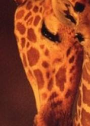 Giraffe : tenerezze.....