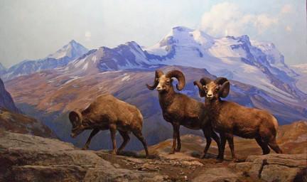 American Museum of Natural History - Big Horn Sheep