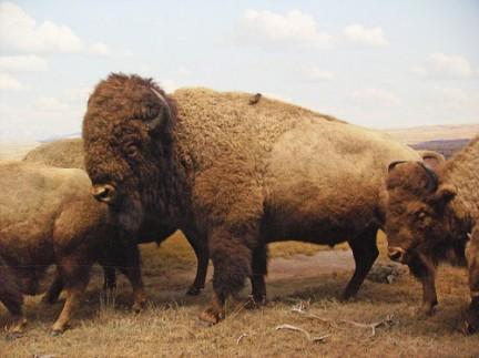 American Museum of Natural History - Bisonti