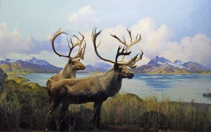 American Museum of Natural History - Caribou