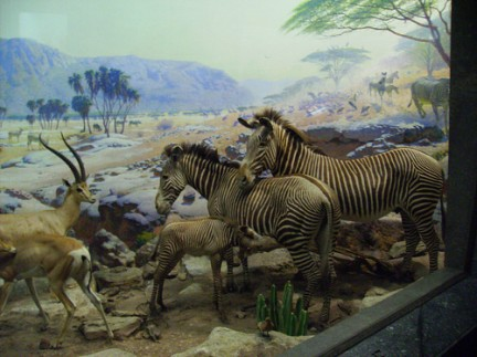 American Museum of Natural History - Gazzelle e Zebre