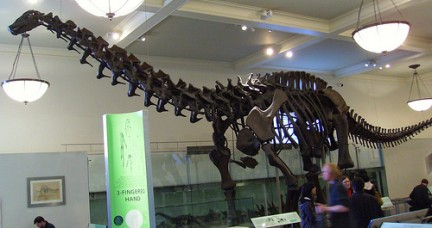Barosaurus lentus fossil