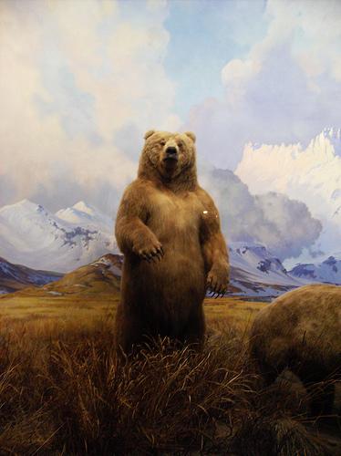 Orso bruno dell'Alaska