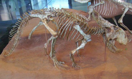 Protoceratops andrewsi(first horned-face) fossil