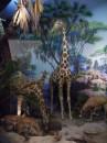 American Museum of Natural History - Giraffe