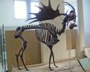 Megaloceros Fossil